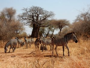Old Baobab trees and herds of zebra in Tarangire National Park Tanzania