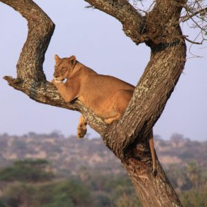 Lion in tree in Lake Manyara National Park Tanzania