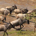 Fantastic safari to the migration!