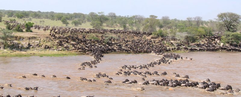 Safari Migration Special Crossing of Wildebeest migration in Tanzania