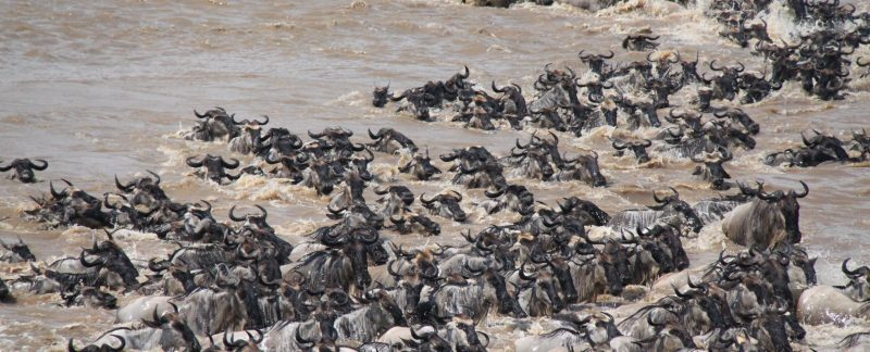 Camping Safari Great Migration Tanzania Wildebeest crossing Mara River in Serengeti National Park