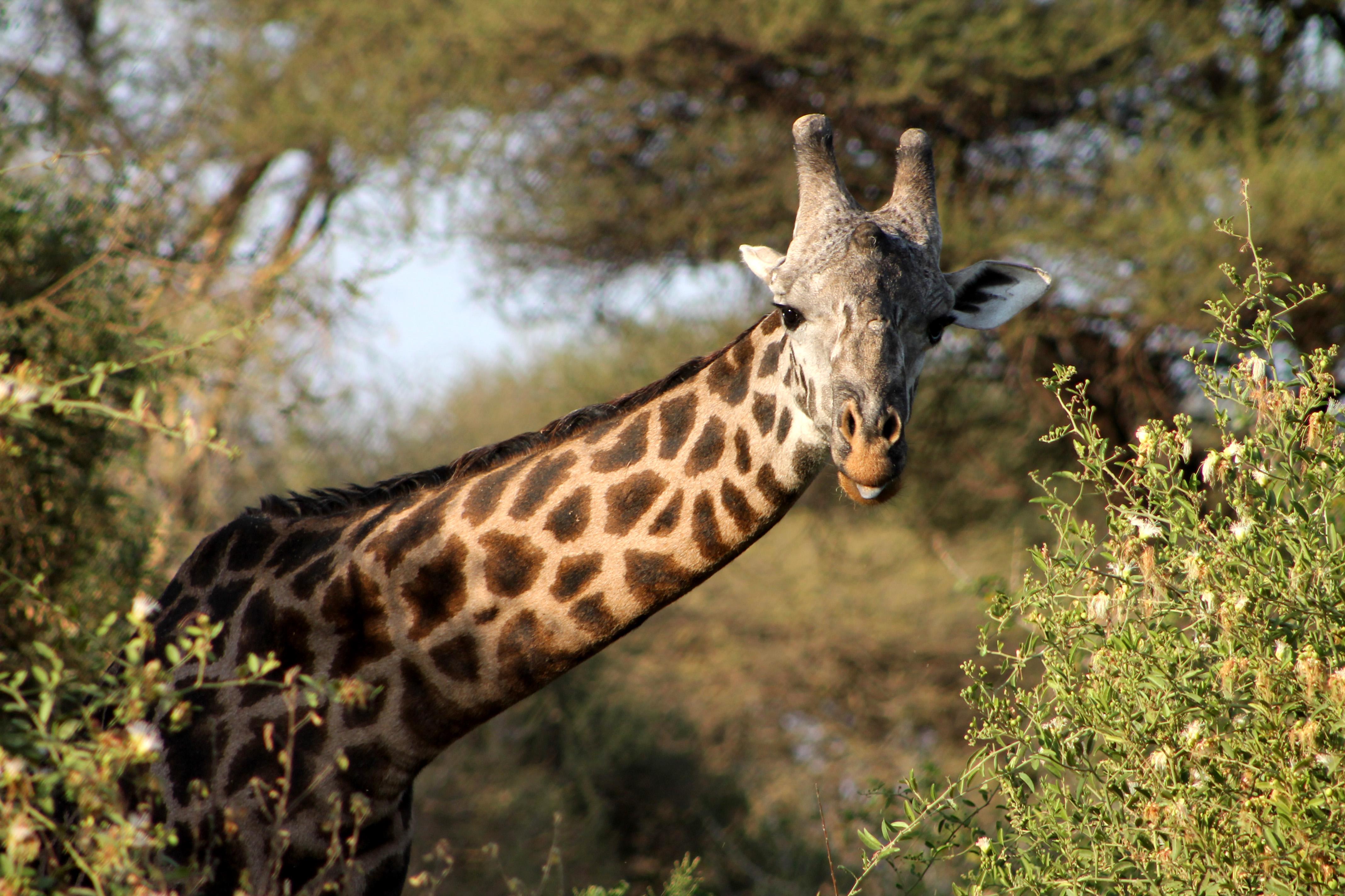 safari Tanzania Off the beaten track. Meet giraffes in Lake Manyara National Park