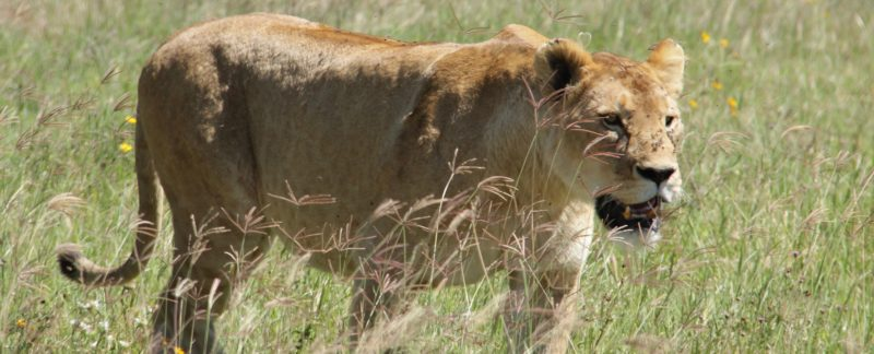 Lions in Ngorongoro National Park Tanzania