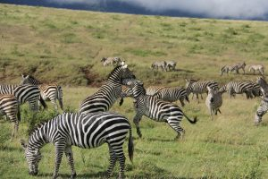 Zebras in Ngorongoro National Park Tanzania