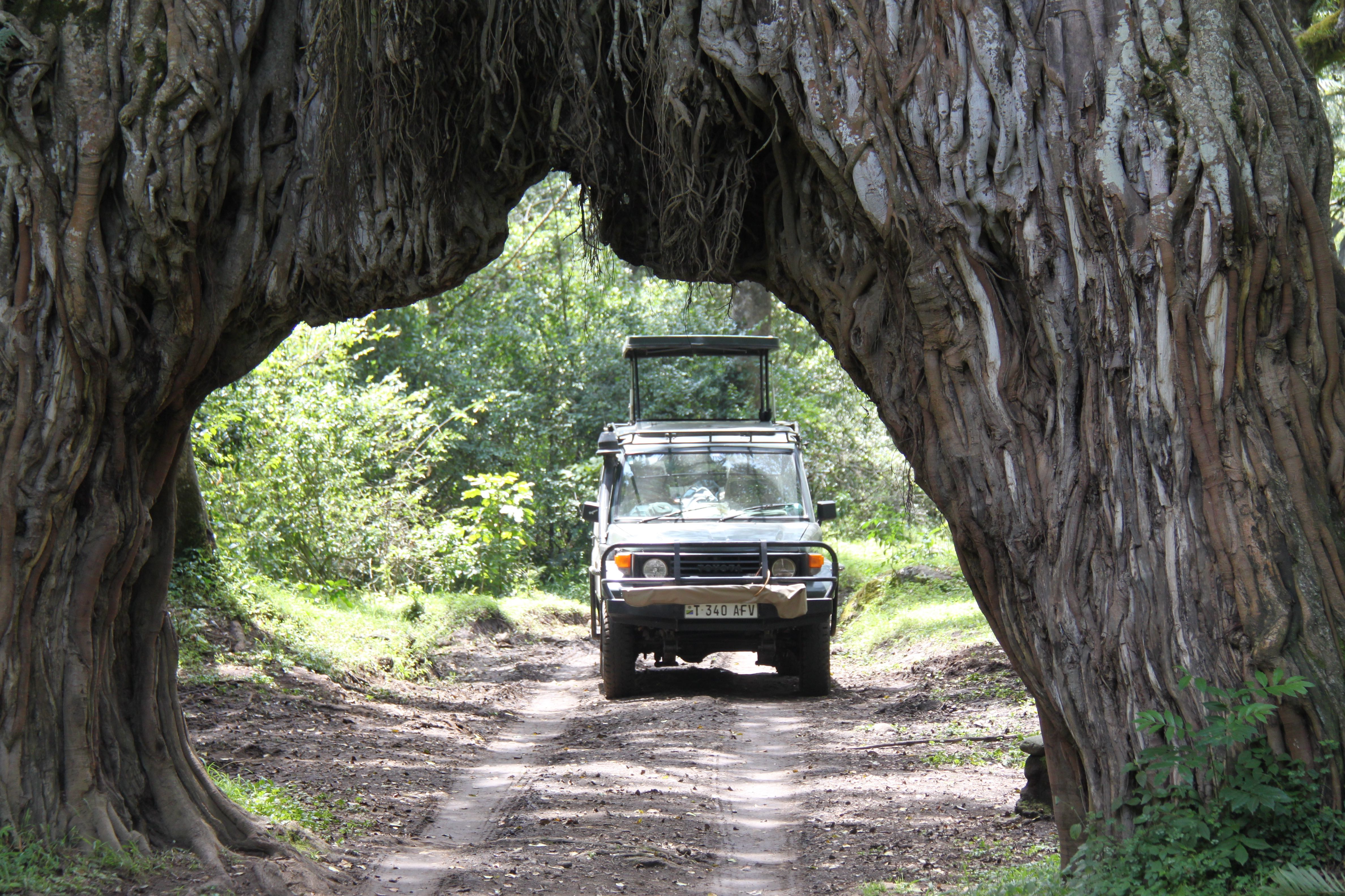The Giant Fig Tree in Arusha National Park Tanzania