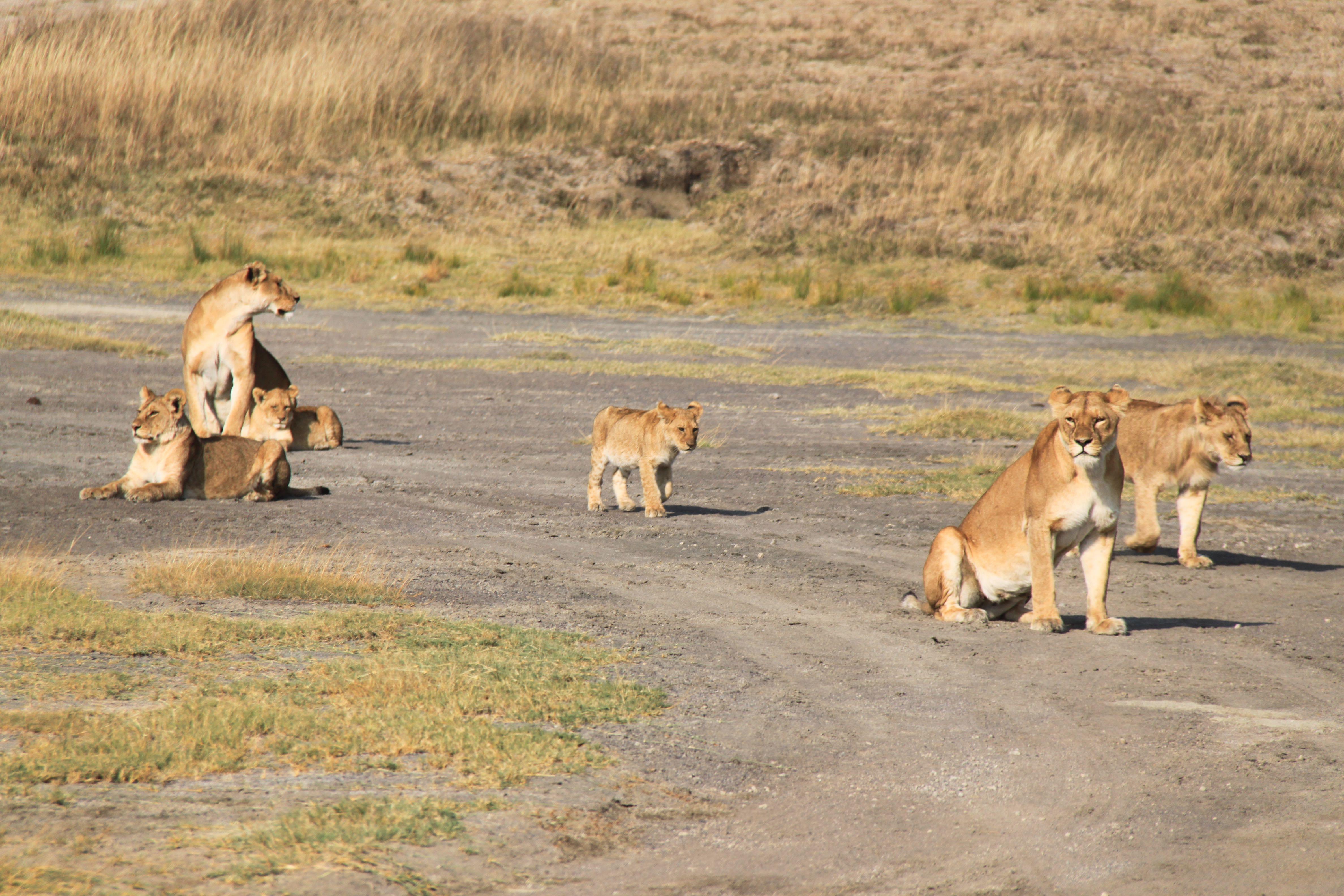 Early morning safari in Serengeti National Park Tanzania