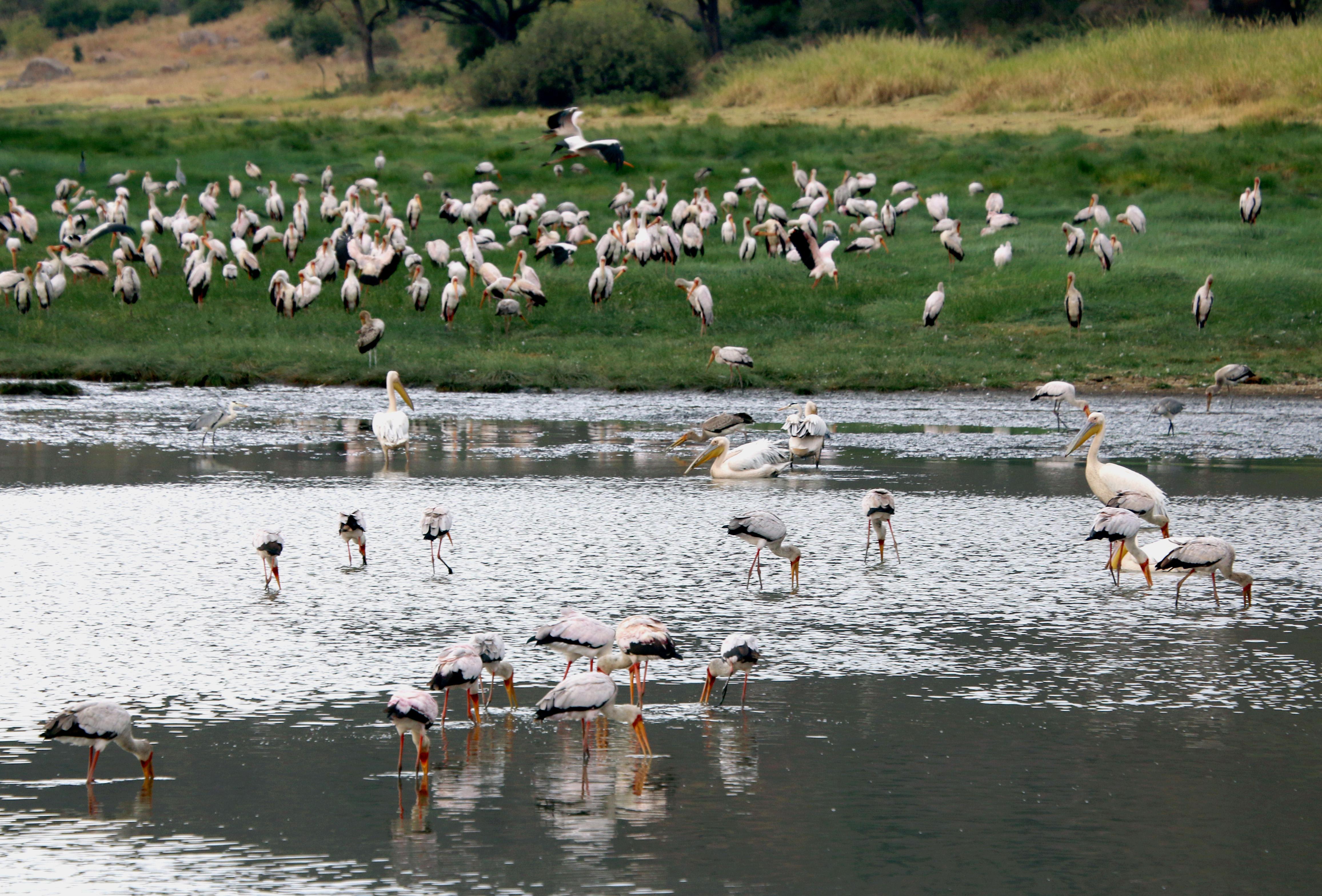 Veel vogelsoorten in Lake Manyara Tanzania