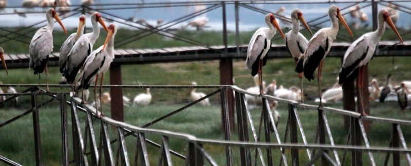 Day Trip Lake Manyara, Storks at Lake Manyara Tanzania